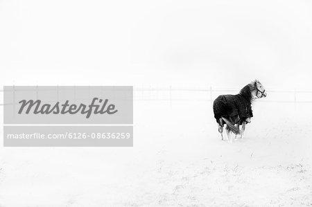 Sweden, Ostergotland, Horse (Equus ferus caballus) in field in winter