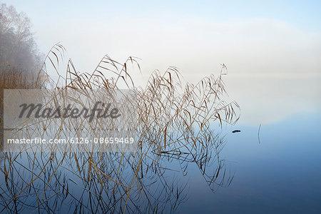 Sweden, Sodermanland, Bornsjon, Reed protruding from water