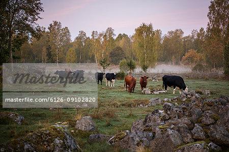 Cows on paddock in Krkshult, Sweden
