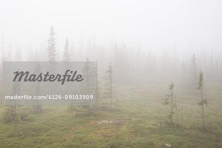 Foggy forest in Jamtland, Sweden