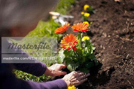 Hands of a senior woman gardening.