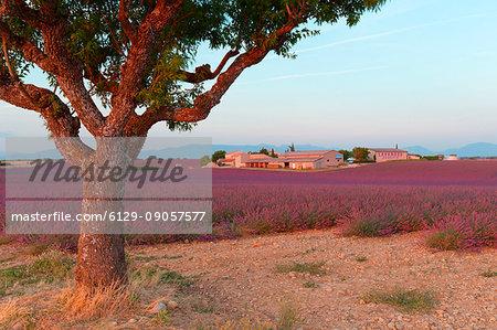 Europe, France,Provence Alpes Cote d'Azur,Plateau de Valensole. Farm lavander