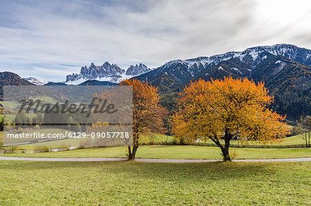 Two autumnal cherry trees with Odle Dolomites in the background. Santa Maddalena, Funes, Bolzano, Trentino Alto Adige - Sudtirol, Italy, Europe.