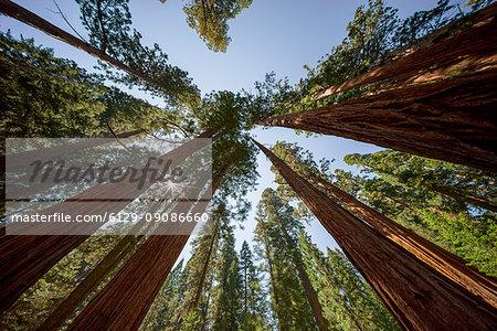 Giant Sequoia Trees at Sequoia and Kings Canyon National Park, Visalia, Sierra Nevada, California; USA