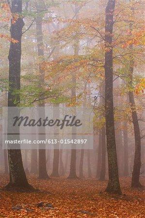 USA, North Carolina, Blue Ridge Mountains, autumnal forest and fog