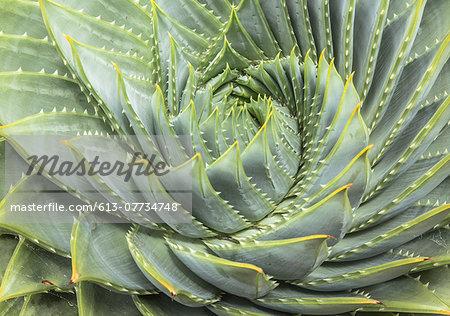 Spiral Aloe (Aloe polyphylla)