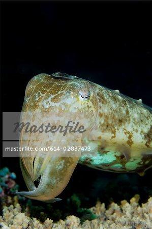Close-up of cuttlefish
