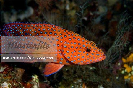 Profile of coral grouper.