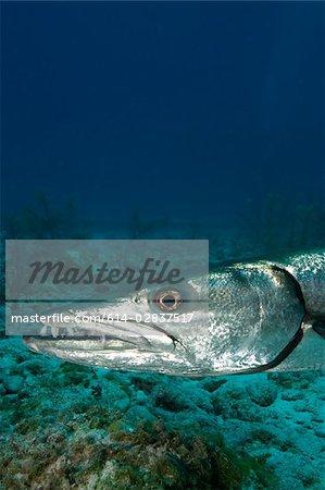 Close-up of Great barracuda.