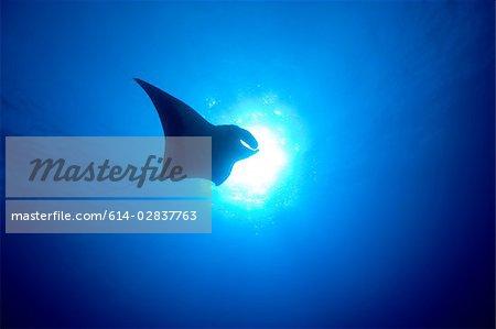Manta ray silhouette.