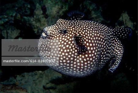 Inflated pufferfish.