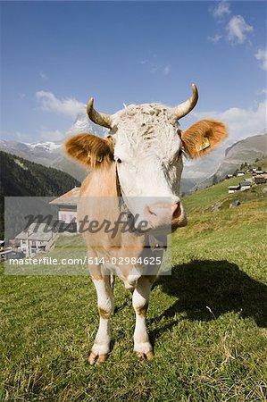 Cow standing on a hillside