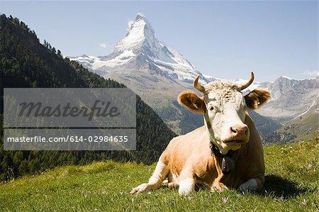 Bull resting on a hillside