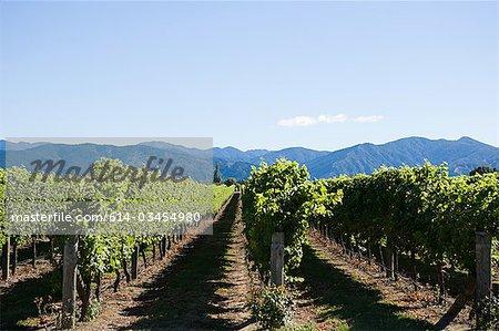 Marlborough, vinyards near Blenheim