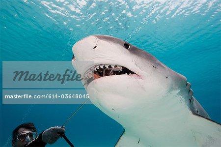 Diver feeds Tiger Shark.