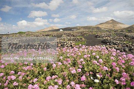 Flowers in vineyard, La Geria, Lanzarote