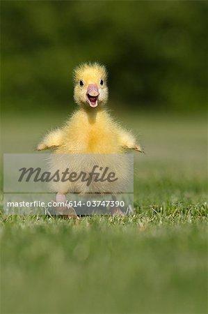 One gosling walking on grass