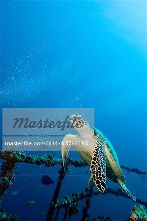 Hawksbill turtle on shipwreck
