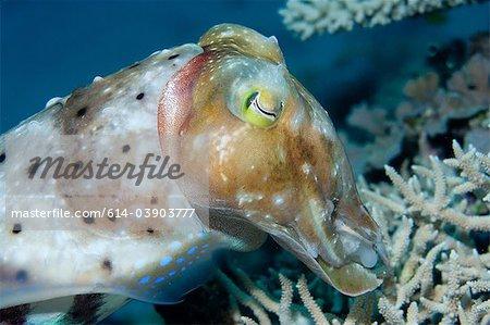 Cuttlefish hiding eggs in reef