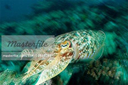 Cuttlefish on reef