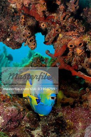 Queen angelfish, Florida