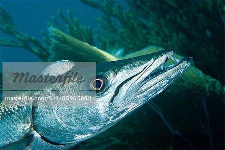 Barracuda with pilot fish