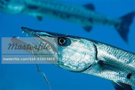 Barracuda on hook and line