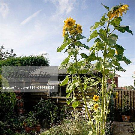 Tall sunflowers growing in garden