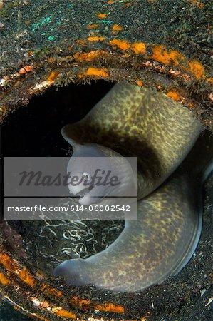 Moray Eel hiding in Litter