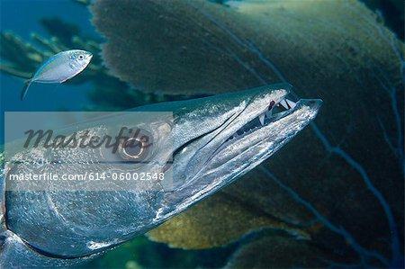 Closeup of Great Barracuda