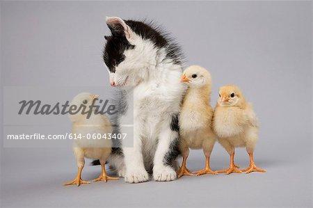 Kitten and chicks
