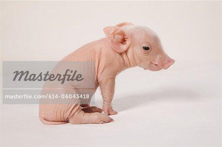 Cute piglet, studio shot