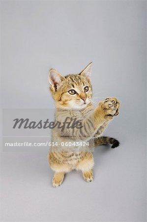 Cat standing on back legs