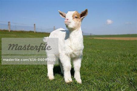 Goat kid in field