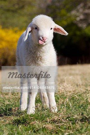 Lamb standing on grass