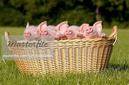 Four piglets in basket