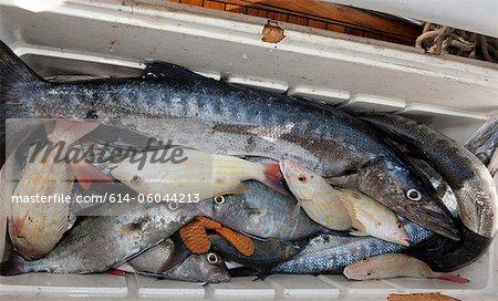 Cooler Full of Fish for Chum