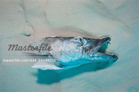 Head of Fish used for Shark chum