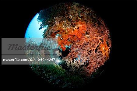Scuba diver behind Gorgonian