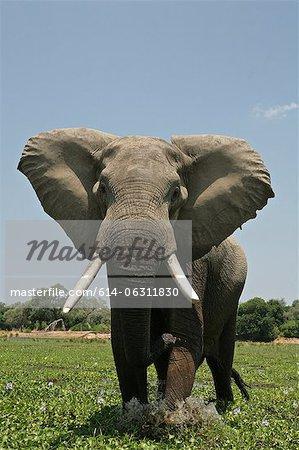 Elephant bull in mock charge, Mana Pools, Zimbabwe