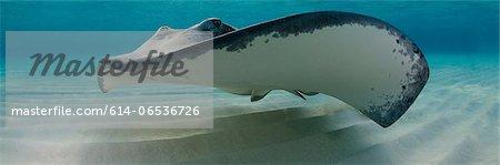 Ray swimming underwater