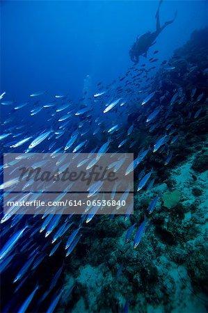 Scuba diver chasing school of fish