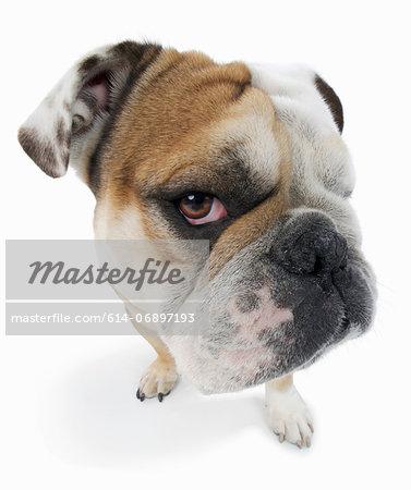 Studio portrait of english bulldog looking suspiciously