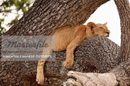 Lion cub sleeping in tree, Selous National Park, Tanzania, Africa