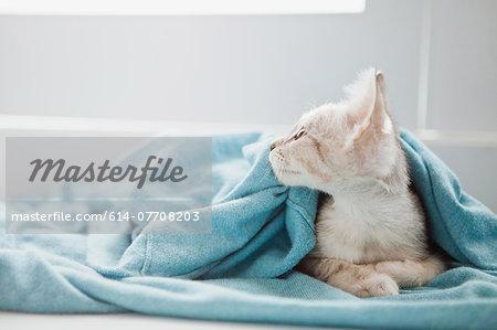 Tabby kitten under blanket