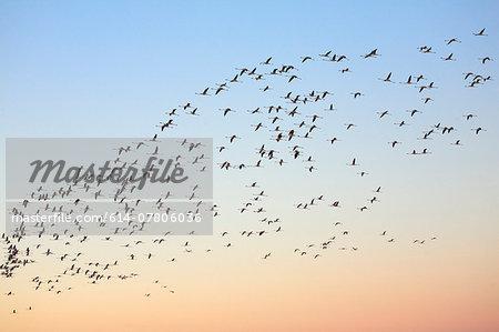 Flock of flamingos (phoenicopterus roseus) flying overhead at dawn, Putzu Idu, Sardinia, Italy