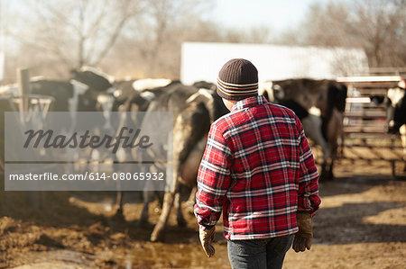 Rear view of boy herding cows in dairy farm yard