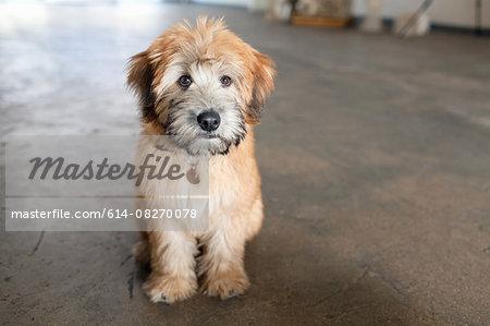 Portrait of puppy sitting on kitchen floor