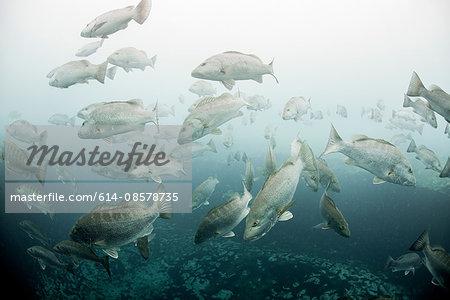 Cubera snappers (Lutjanus cyanopterus) gather around underwater freshwater springs, Sian Kaan biosphere reserve, Quinta Roo, Mexico