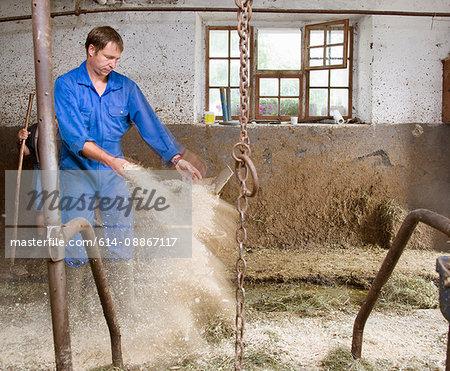 farmer cleaning cow barn